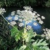 Keep away from Giant Hogweed