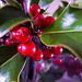Keep holly and other plants out of reach of children